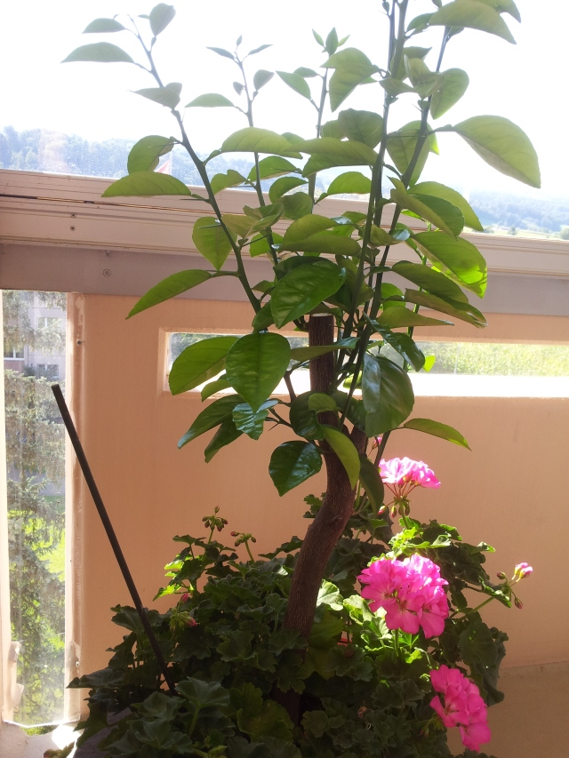 my-little-citrus-tree